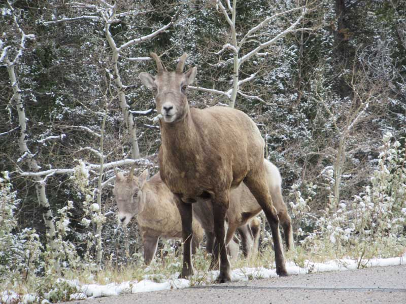 Two elks on side of road