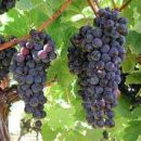 Purple grapes hanging in bunches