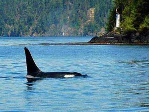 Orca in water