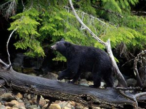 Black bear walking in wilderness and trees