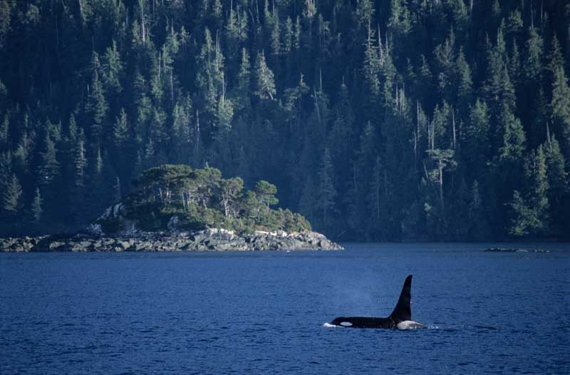 Orca in water with trees in background
