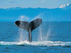 Whale tail coming out of the sea