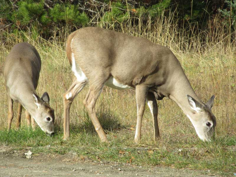 Two deer eating grass