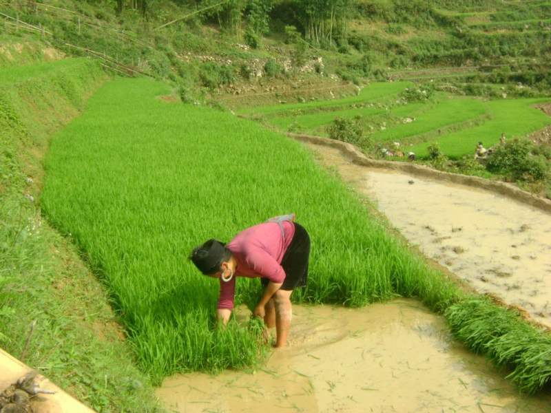 Local lady harvesting crops