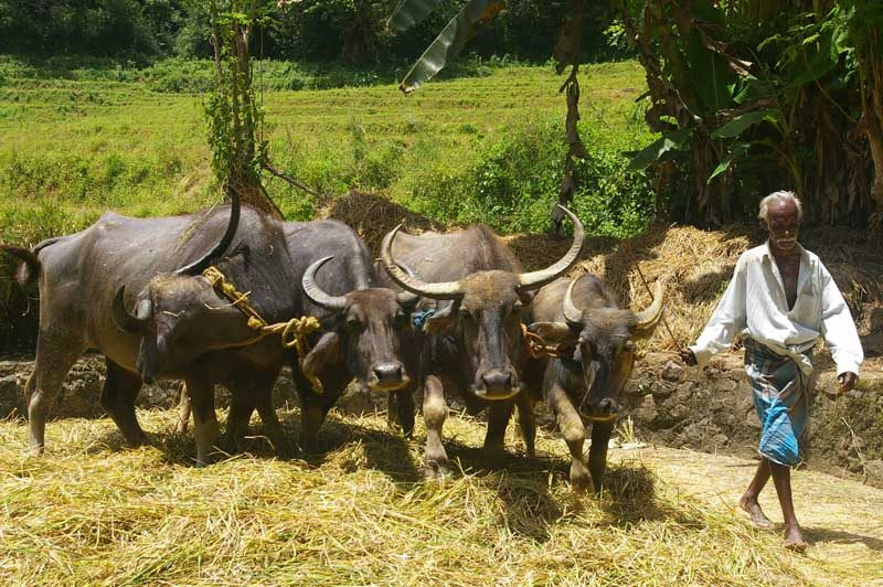 buffalo and man in rice harvest