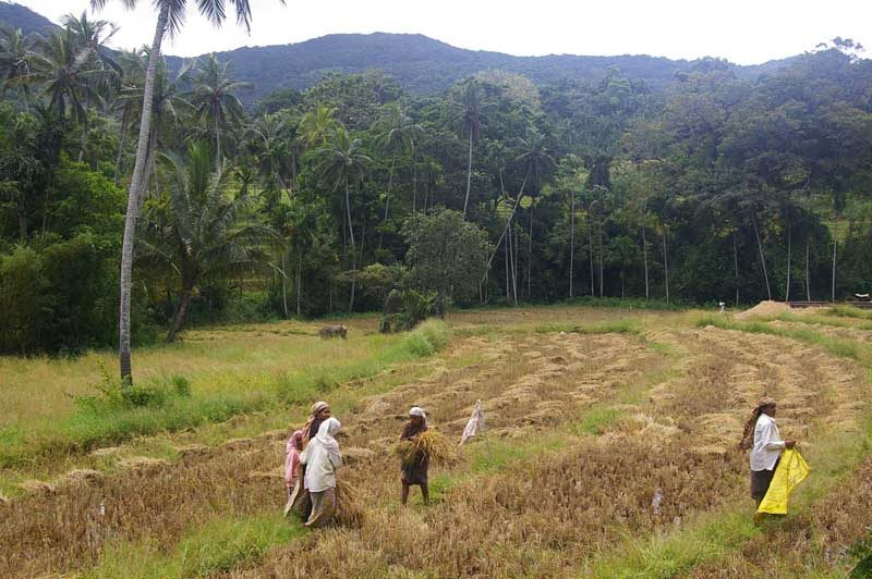 people on a rural rice farm with trees