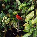 Small red bird perching on tree branch