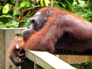 Orangutan relaxing in Borneo
