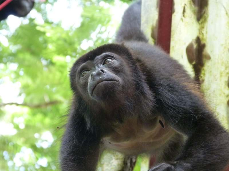 Howler monkey hanging from tree