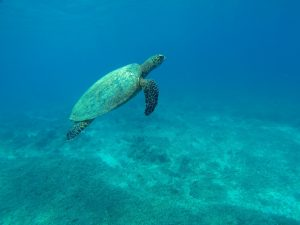 Turtle swimming in the Caribbean.