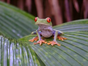 Red eyed frog sitting on leaf