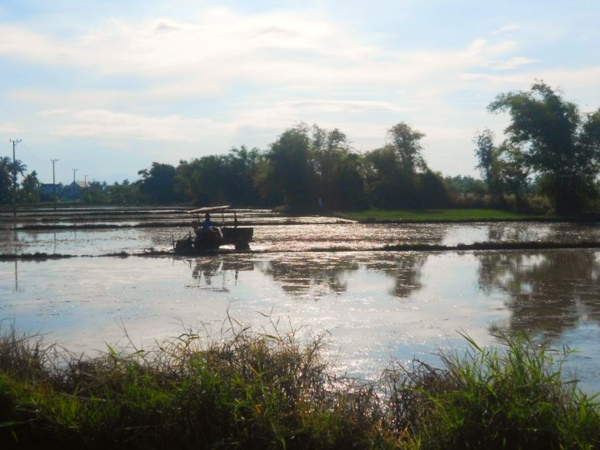 farmer on tractor in rice field hoi an countryside