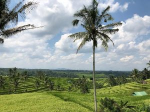 Green rice fields of Ubud