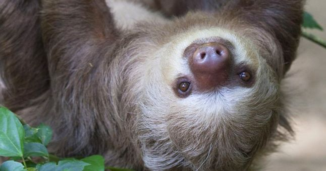 baby sloth upside down
