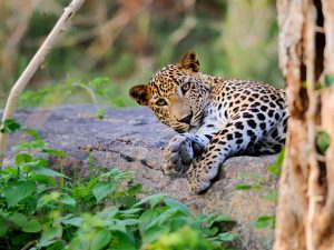 Leopard lazing on piece of bark