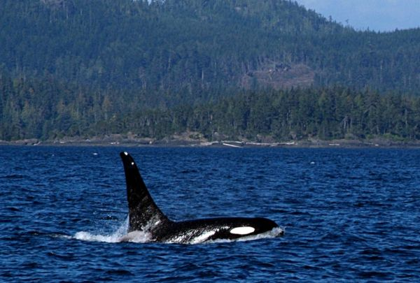 Whale in Campbell River, Canada