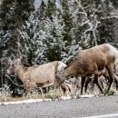 Canada-Icefields-Parkway-Wildlife-Deer