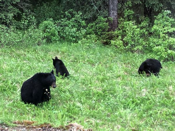 Black bears in Jasper National Park, Canada