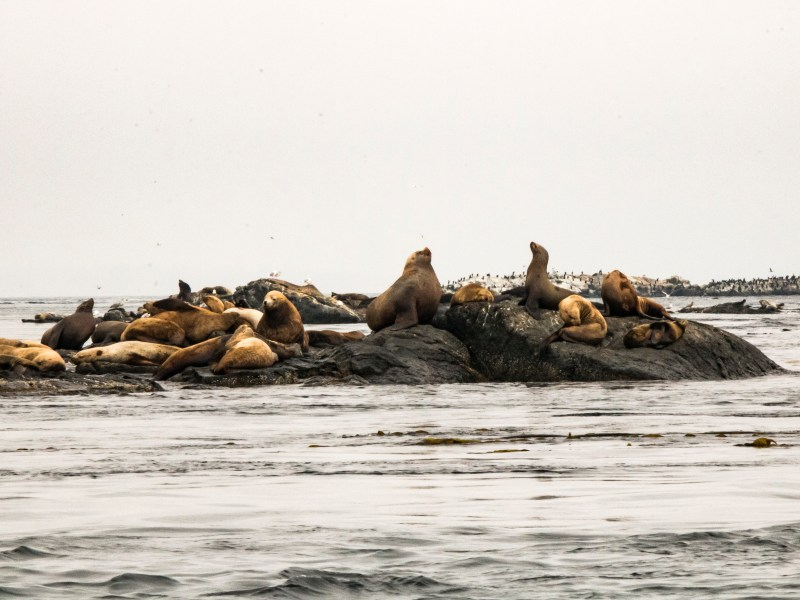 Seals laying on rock in water