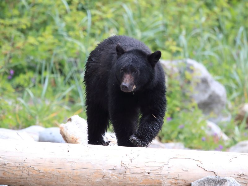 black bear in tofino canada