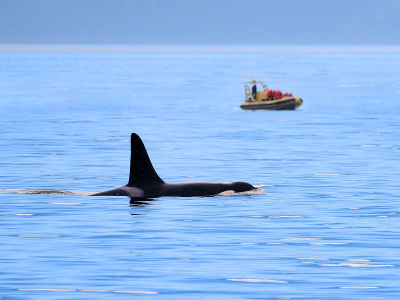 orcas off the coast of victoria, canada