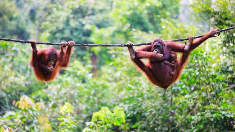 orangutans swinging on rope in borneo