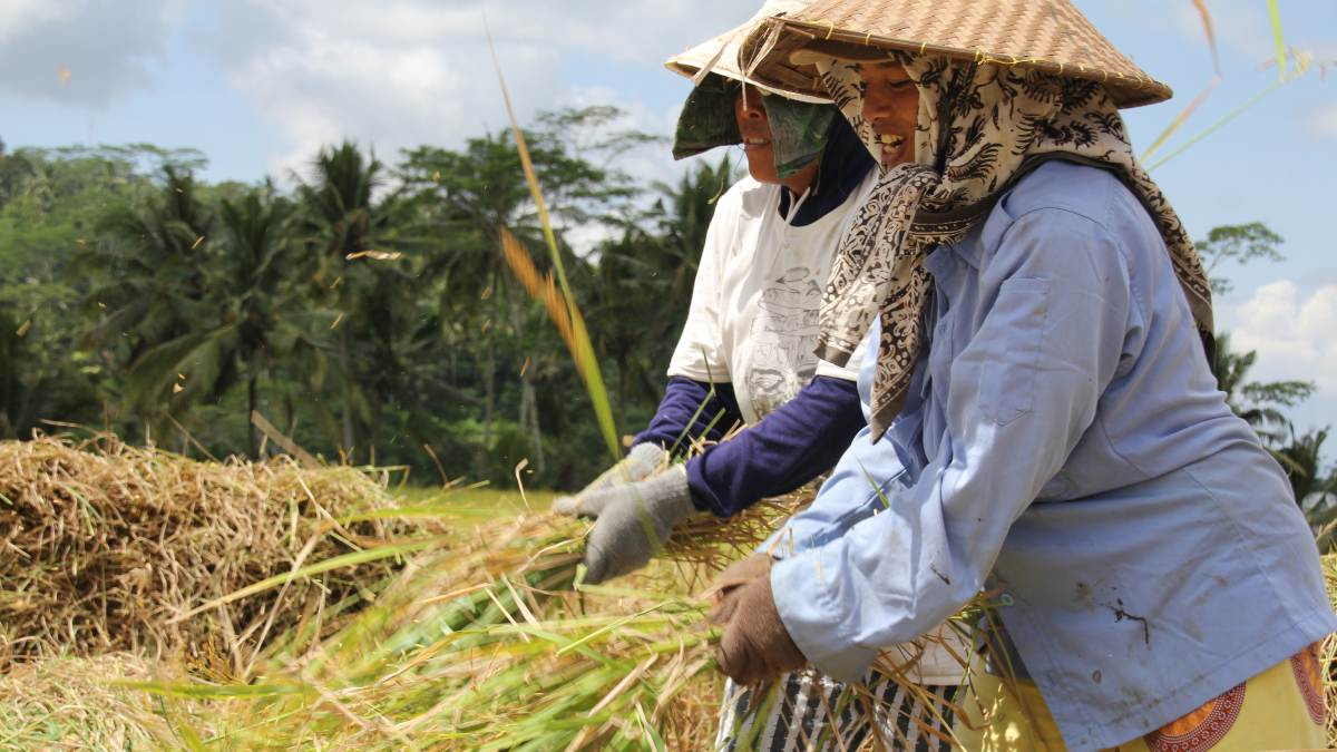 local women farming in bali
