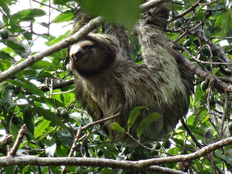 sloth hanging from the tree
