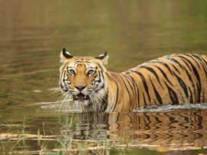 Tiger in the water