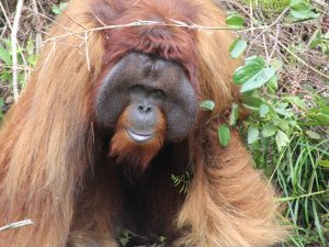 Male orangutan in Samboja Lestari, east Kalimantan