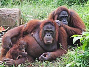 Family of Orangutans in Samboja Lestari, Eastern Kalimantan