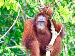 Orangutan in Kalimantan, Indonesia
