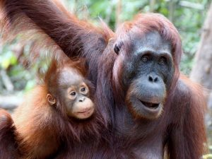Orangutans in Kalimantan, Indonesia