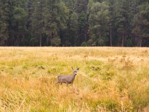 Deer playing in yellow grass