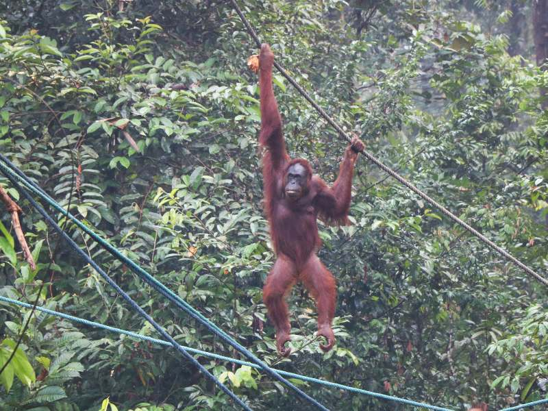 orangutan swinging in the trees