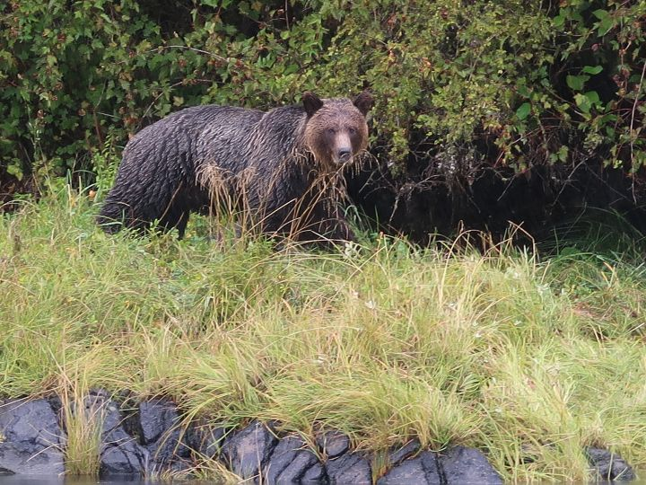 Grizzly bear in nature in canada