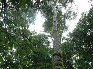 Giant trees in the Amazon, Ecuador