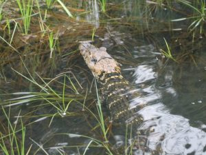 caiman in the amazon