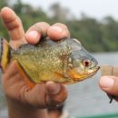 amazon piranha