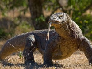 Indonesia-komodo-dragon