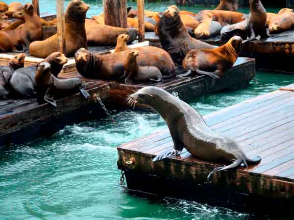 Sea lion at san francisco pier, California, USA