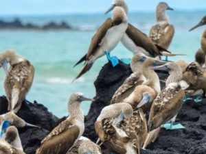 blue footed boobie