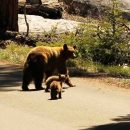 family of bears in sequoia national park