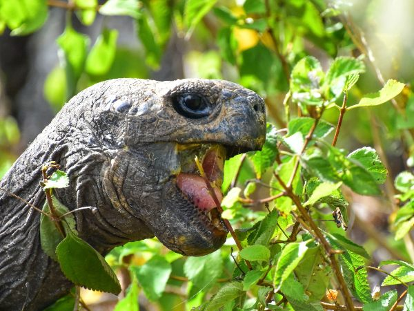 Giant tortoise eating leaves in the galapagos