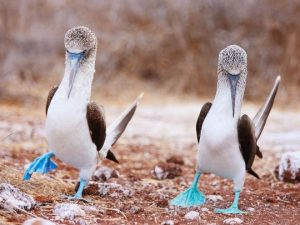 Blue footed boobies in the galapagos