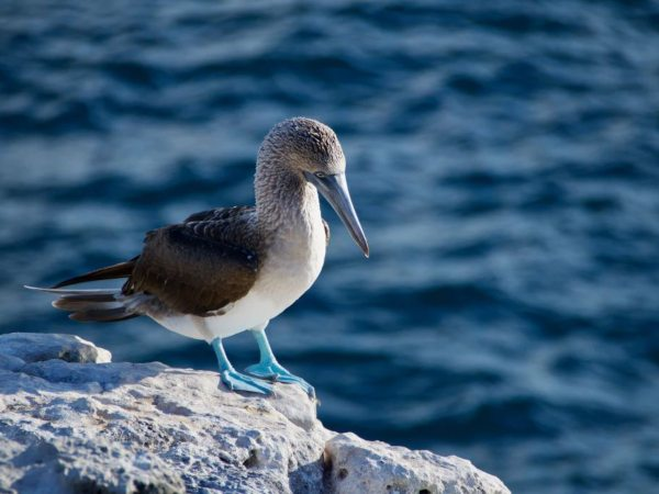 Blue footed booby bird standing on rock in the galapagos