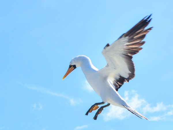 Tropicbird in flight in the galapagos