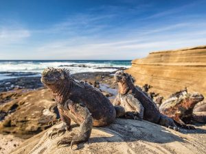 Two iguanas on the beach in Galapagos