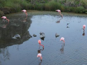 Flamingos in the galapagos