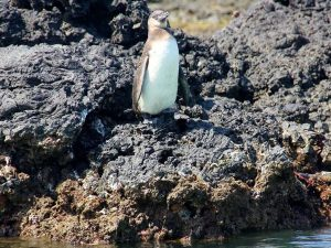 Penguin on the rocks, Galapagos
